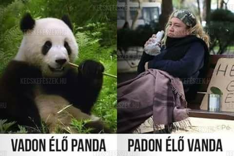 Vadon élő panda